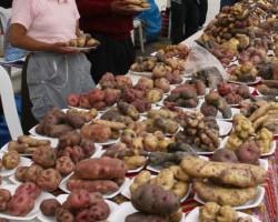 Región Huancavelica incrementa su producción orgánica de papas nativas.!